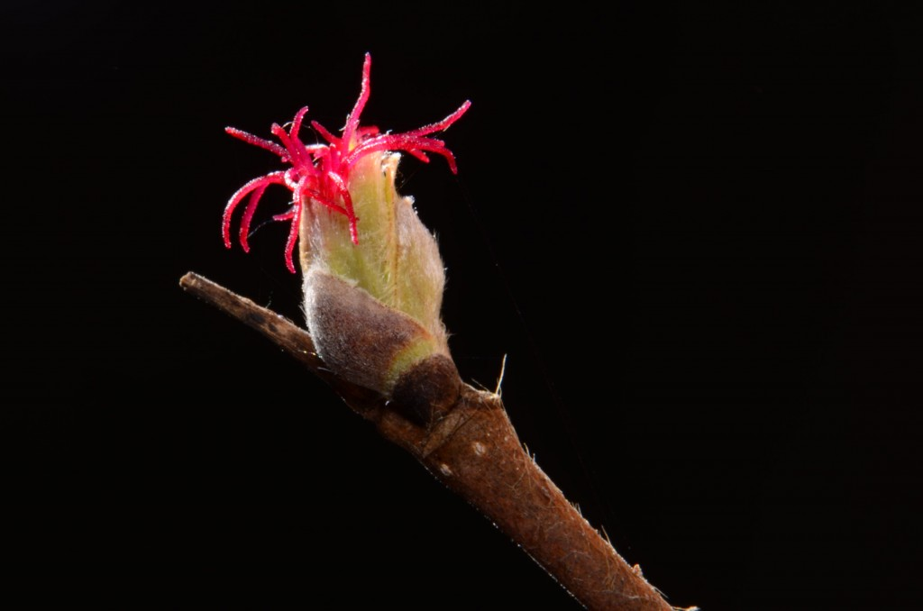 Corylus cornuta, female flower