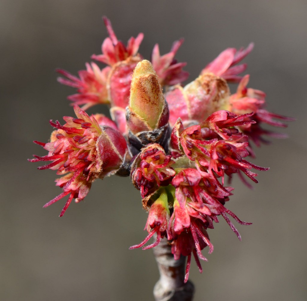 Acer rubrum female flowers