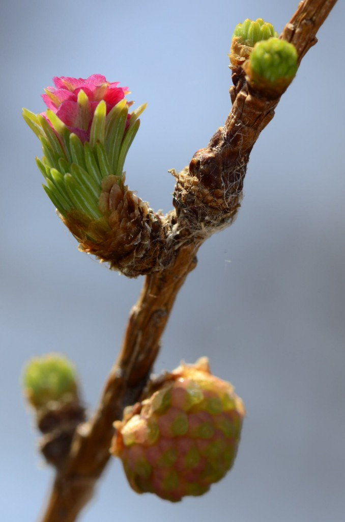 Larix laricinia, male cone